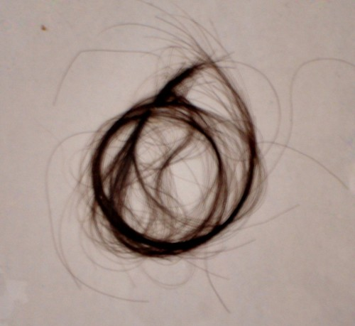 Sarah Jacob's Hair, discovered in a volume in the National Library of Wales (c) Geoff Ballinger/BBC Radio Wales